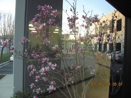 Magnolia Alexandria .jpg
